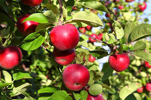 秋天到了,全家去多伦多周边农场苹果,体验丰收的喜悦。(Shutterstock)