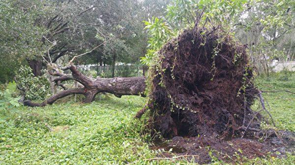 坦帕地區被連根拔起的大樹 ( 劉文武/大紀元)