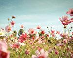 波斯菊盛開的花園。(fotolia)