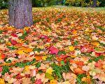 紅色和黃色的秋天的樹葉。(fotolia)