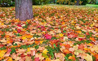 红色和黄色的秋天的树叶。(fotolia)