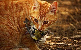 澳洲猫每天杀死100多万只鸟。(pixabay)