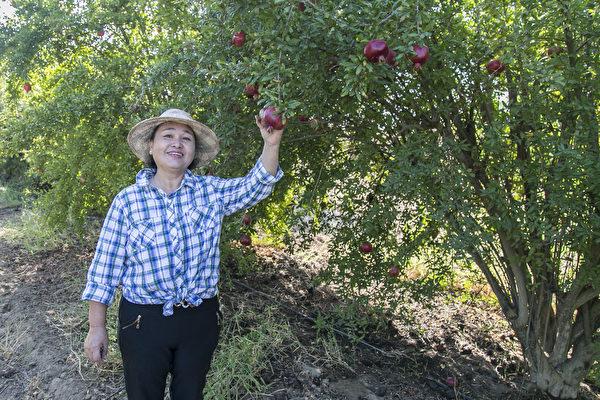 有机枣园受欢迎 王丽贝萧先生弃商务农乐在其中