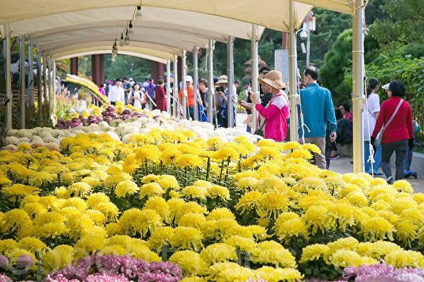 仁川月尾公园举办菊花庆典,许多民众前往赏花。(全景林/大纪元)