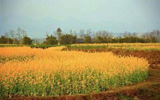 曾錚家鄉春色,攝於中國四川省綿陽郊區。(曾錚提供)