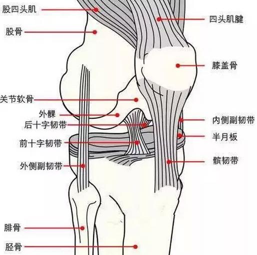 膝蓋示意圖。髕骨韌帶是膝蓋處最粗的韌帶之一。(大紀元)