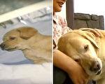 奥利弗是一只导盲犬,它终于要回到寄养家庭展开退休生活,众人以为它不记得老家的一切,没想到⋯⋯(视频截图/大纪元合成)