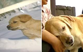 """""""我回来了""""退休导盲犬回老家 隔11年重逢表现超感人"""