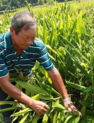 陈进益先生指出收割野姜花的痕迹。(曾汉东/大纪元)