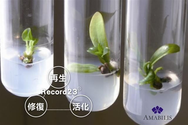 萃取蝴蝶兰胚胎干细胞中的23种生长因子(Recode23®),完整将大白花蝴蝶兰180天美丽不凋的秘炼全然注入AMABILIS保养品中。(大纪元制图)