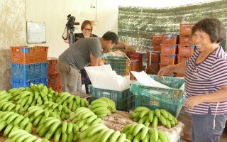 集集山蕉产地价已回升至成本价18元,让蕉农能稍缓一口气。 (黄淑贞)
