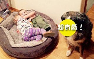 狗狗发现舒适的大床被占走 眼神笑翻一堆网友