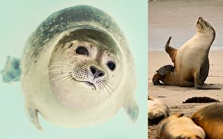 海豹長得可愛,但是千萬不要找海豹寶寶合影。(pixabay/大紀元合成)
