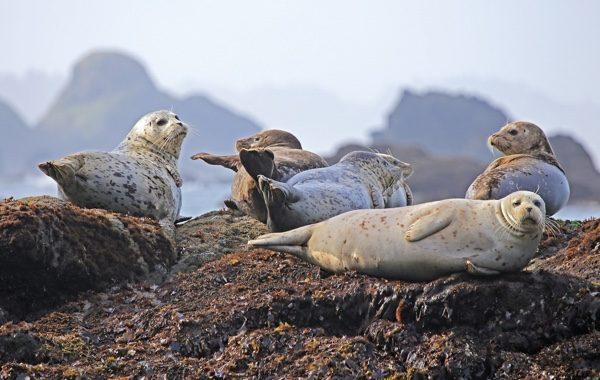 如果看到一群海豹,远离这些海豹150公尺以外。(pixabay)