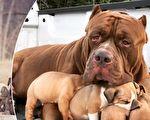 哈尔克被认为是世界上最大最凶猛的比特犬,它当爸爸后变得很温柔,它的狗宝宝则身价不菲。(脸书/大纪元合成)