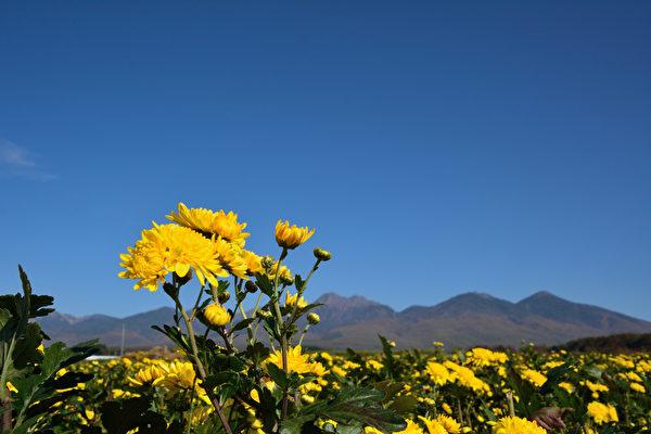 菊花除了有观赏价值,本身具有清肝明目、清热解毒及一定的降压功效。(fotolia)