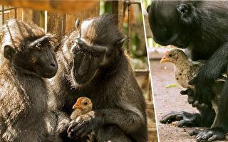 小鸡撞进猕猴舍 与孤独母猴立即组成母子档