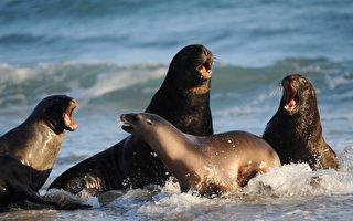 达尼丁附近Sandfly Bay海滩出现的海豹。(CHRISTOPHE SIMON/AFP/Getty Images)