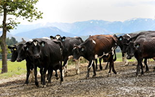 圖為南島一奶牛場。(Martin Hunter/Getty Images)