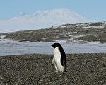 南极洲的阿德利企鹅于2017年的繁殖季发生大浩劫,有一个近四万只的企鹅群,在繁殖季孵出的幼雏几乎全饿死,欧盟各国的科学家将开会推动保护区计划。(MARK RALSTON/AFP/Getty Images)