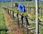 澳洲葡萄酒深受中国人青睐。澳洲的葡萄园也成为中国买家的投资目标。(PETER PARKS/AFP/Getty Images)