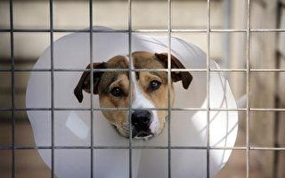 环境、食品及农村事务部已起草新法案,欲将英格兰地区虐待动物的最高刑期提高十倍,变更为5年。图为动物援救中心的流浪狗。(Christopher Furlong/Getty Images)