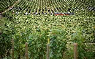 国际葡萄酒组织解释到,全球最大的3个葡萄酒生产国的气候灾害造成葡萄的收成不佳,红酒产量下降。图为法国的一处葡萄园正在收成。(ERIC FEFERBERG/AFP/Getty Images)