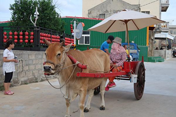 在南寮还可体验乘牛车的乐趣,名叫欧采茶的阿嬷轻松的驾着牛车,车上可乘载四、五名乘客。(徐曼沅/大纪元)