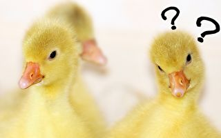 小鸭鸭:我们的眼睛为什么长在两边呢?(Pixabay)