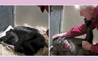 59歲的黑猩猩「媽媽」不久於世,荷蘭生物學家凡胡夫專程來看這位四十多年的老朋友。(YouTube視頻截圖/大紀元合成)