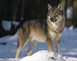 母狼让他替它的脚上药后,才带着小狼走开,一路还频频回头望他。(pixabay)