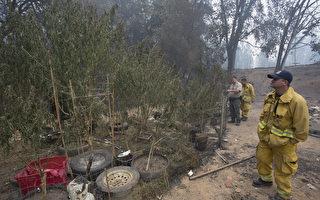 加州消防隊員在清理非法大麻種植園。(David McNew/Getty Images)