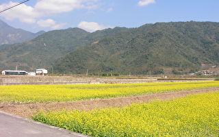 台灣台東縣池上鄉的油菜花田和中央山脈。(公有領域)