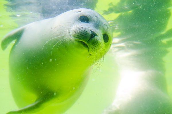 海豹的脸部长的像猫。()pixabay