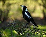 在澳洲,喜鹊攻击事件的多发季节始于春季。(PETER PARKS/Getty Images)
