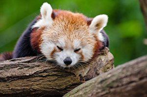 小熊貓(Ailurus fulgens),學名:紅熊貓,體型比家貓略大,貓臉熊身,似貓非貓,似熊非熊(Pixabay)