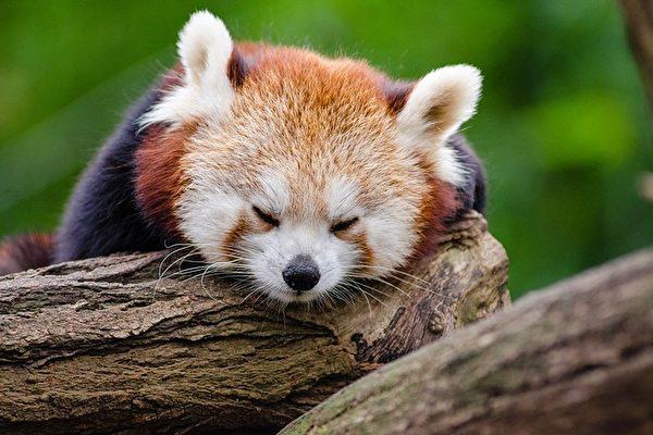 小熊猫(Ailurus fulgens),学名:红熊猫,体型比家猫略大,猫脸熊身,似猫非猫,似熊非熊(Pixabay)