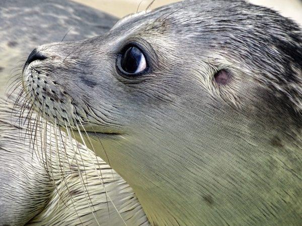 海豹妈妈通常会在小海豹附近,NOAA发布警告表示:不要和海豹合影自拍。(pixabay)