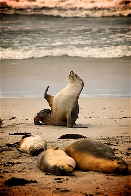 NOAA建议:远离这些海豹150公尺以外。(pixabay)