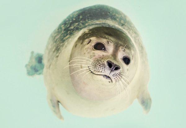 海豹成纺锤体型、四肢退化成鳍状的哺乳动物。(pixabay)