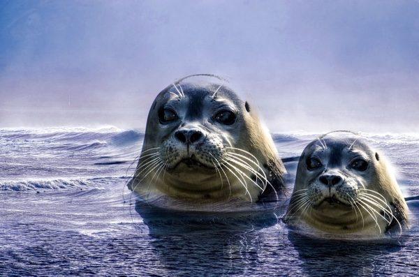 如果海豹妈妈看到人类接近自己的孩子,也会当做敌人发起攻击。(pixabay)