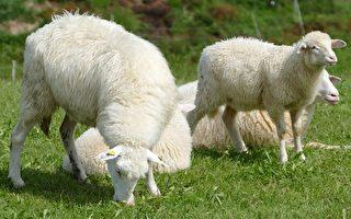 六歲的艾米麗擁有25隻羊,父親通過農場生意培養她的投資和理財方面的知識。(Pixabay)
