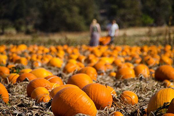 秋天到農場摘南瓜,不僅可以親近大自然,也可以是好玩的家庭活動。(Shutterstock)
