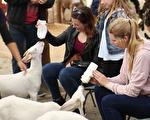 在珀斯的天鹅谷小动物农场(Swan Valley Cuddly Animal Farm),给小羊和小猪喂奶瓶,是大人都无法拒绝的体验。(布兰顿/大纪元)