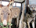 """一头老驴被投入大灰狼的笼子中,没想到它用友情换得和平,更因此迎来光明""""驴""""生。(GENT SHKULLAKU/AFP/Getty Images/大纪元合成)"""