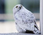 在漢密爾頓地區,一般冬天都會有幾隻雪鴞飛臨此地,一直到3月份才飛走。(加通社)