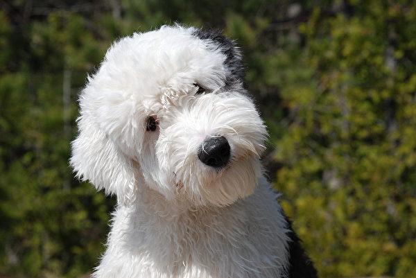 露出眼睛的古代牧羊犬看起來更精靈可愛。(維基百科公共領域)