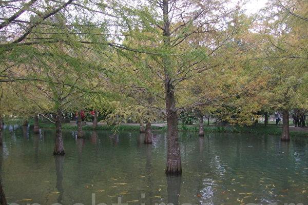 「鈺展苗圃」落羽松森林水中倒影。(張雅雲/大紀元)