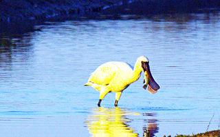 水面反射朝阳 黑面琵鹭变金色黑琵