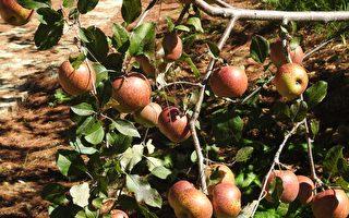 福壽山蘋果季開鑼,11月1日起開放住宿的民眾到果園採蘋果。(賴瑞/大紀元)